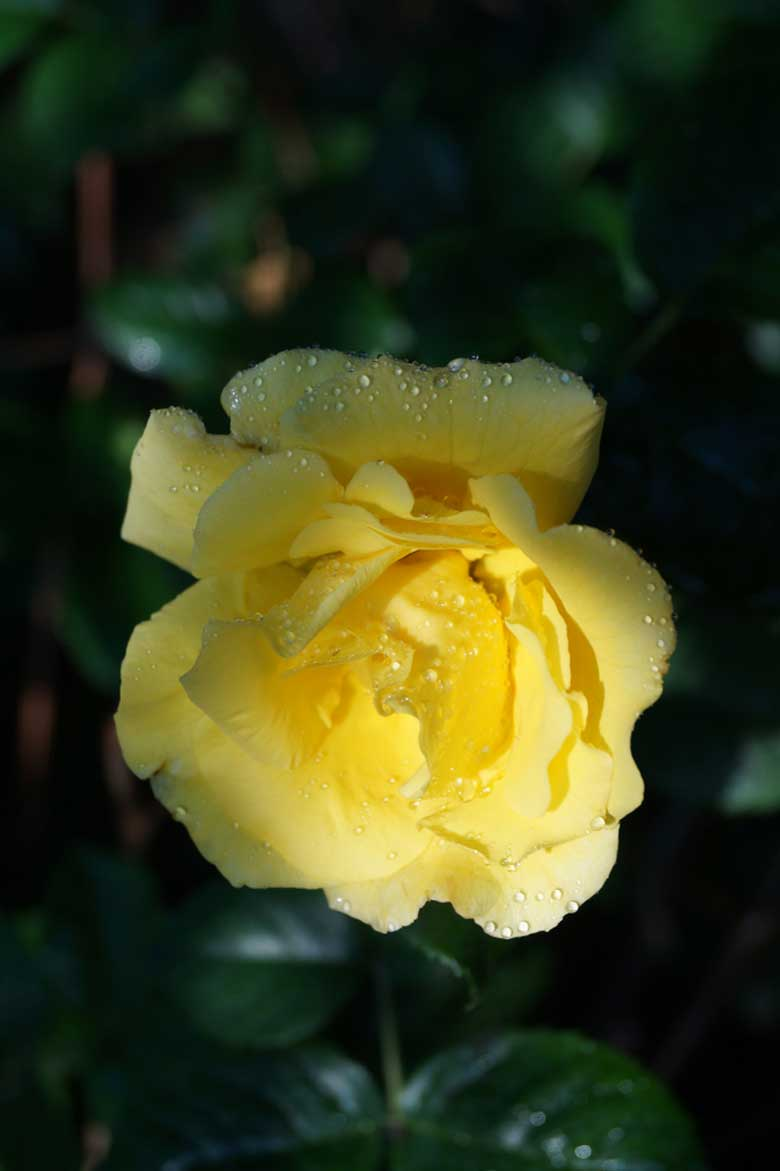 good morning wishes with yellow roses
